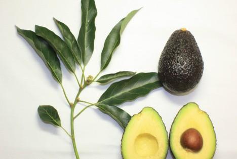 Branch_and_fruit_of_the_Maluma_avocado_cultivar